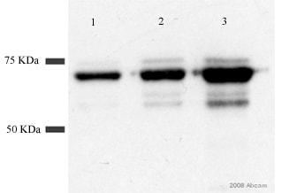 Western blot - GST antibody (ab19256)