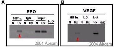 ChIP - Anti-HIF-1-alpha antibody (ab2185)