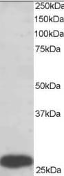 Western blot - PGAM1 antibody (ab2220)