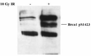 Western blot - BRCA1 (phospho S1423) antibody (ab2838)