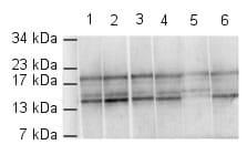 Western blot - Anti-Histone H4 (di methyl K79) antibody (ab2885)