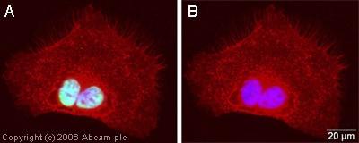 Immunocytochemistry/ Immunofluorescence - hnRNP U antibody (ab20666)
