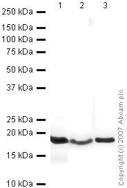 Western blot - Histone H3 - HRP antibody (HRP) (ab21054)