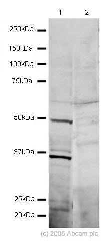 Western blot - GFI1 antibody (ab21061)