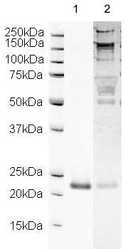 Western blot - Sonic Hedgehog antibody (ab19897)