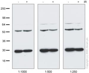 Western blot - NAP1L4 antibody (ab21631)