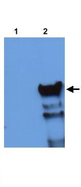 Western blot - HSF4 antibody (ab21826)