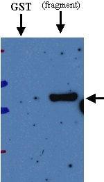 Western blot - Deep Orange  antibody (ab21872)