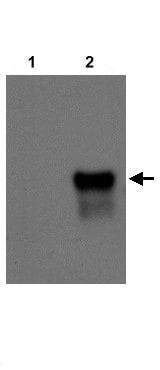 Western blot - NR2F2 antibody (ab21888)