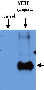 Western blot - RBPJK antibody (ab21930)