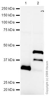Western blot - Lefty antibody (ab22569)