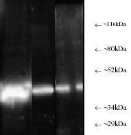 Western blot - PSMC6 antibody (ab22639)