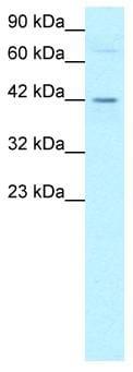 Western blot - DEK antibody (ab22826)