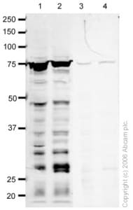 Western blot - RECQ1 antibody (ab22830)