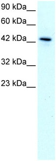 Western blot - KLF15 antibody (ab22851)