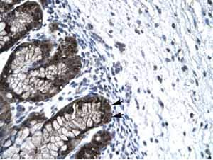 Immunohistochemistry (Formalin/PFA-fixed paraffin-embedded sections) - FOXJ2 antibody (ab22857)