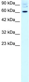 Western blot - FOXJ2 antibody (ab22857)