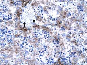 Immunohistochemistry (Formalin/PFA-fixed paraffin-embedded sections) - Anti-PC4 antibody (ab23594)