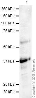 Western blot - Synaptophysin antibody - Synaptic Marker (ab23754)