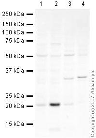 Western blot - ASF1 alpha/beta antibody (ab24171)