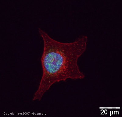 Immunocytochemistry/ Immunofluorescence - ASF1 alpha/beta antibody (ab24171)