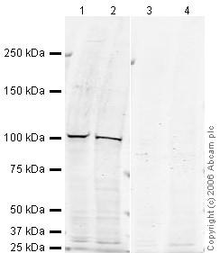 Western blot - CRM1 antibody (ab24189)