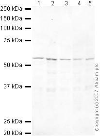 Western blot - HEXIM1 antibody - ChIP Grade (ab25388)