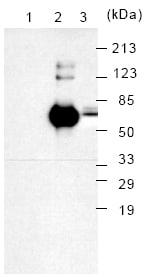 Western blot - GRP78 BiP antibody [76-E6] (ab25695)