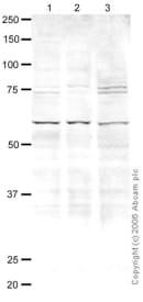 Western blot - CENPB antibody (ab25734)