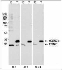Western blot - CSN7b antibody (ab25800)