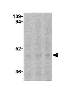 Western blot - Caspase 5 antibody (ab25899)