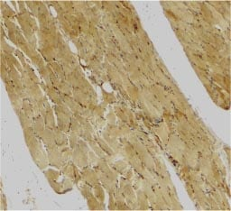 Immunohistochemistry (Formalin/PFA-fixed paraffin-embedded sections) - Anti-Caspase-7 antibody (ab25900)