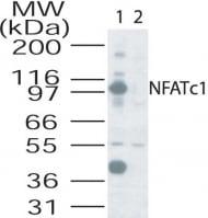 Western blot - NFAT2 antibody (ab25916)