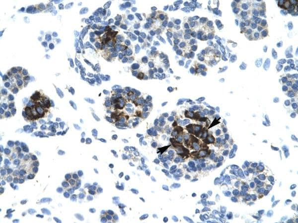 Immunohistochemistry (Formalin/PFA-fixed paraffin-embedded sections) - Anti-DNA Ligase IV antibody (ab26039)