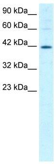 Western blot - MIER1 antibody (ab26254)