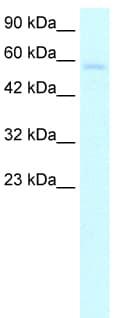 Western blot - TRIM10 antibody (ab26256)