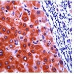 Immunohistochemistry (Formalin-fixed paraffin-embedded sections) - Cellular Apoptosis Susceptibility antibody (ab27518)