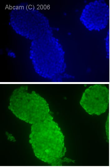 Immunocytochemistry/ Immunofluorescence - Anti-Oct4 antibody (ab27985)