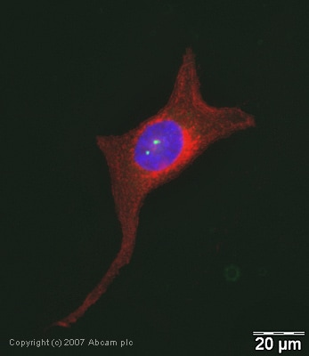 Immunocytochemistry/ Immunofluorescence - Pericentrin antibody (ab28144)