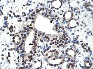 Immunohistochemistry (Formalin/PFA-fixed paraffin-embedded sections) - Anti-ZNF499 antibody (ab28460)