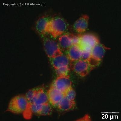 Immunocytochemistry/ Immunofluorescence - EIF2AK1 antibody (ab28530)