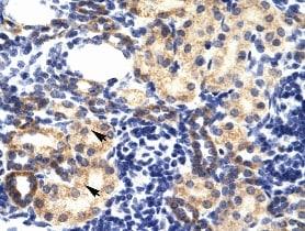 Immunohistochemistry (Formalin/PFA-fixed paraffin-embedded sections) - Anti-RING2 / RING1B / RNF2 antibody (ab28629)