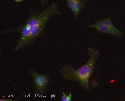 Immunocytochemistry/ Immunofluorescence - Mov10 antibody (ab28656)