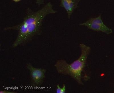 Immunocytochemistry/ Immunofluorescence - Mov10 antibody (ab28656)