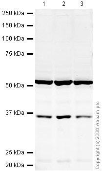 Western blot - HuR / ELAVL1 antibody (ab28660)