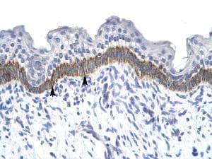 Immunohistochemistry (Paraffin-embedded sections) - 14-3-3 eta antibody (ab28665)