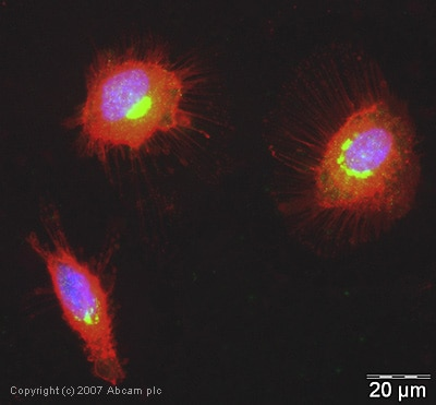 Immunocytochemistry/ Immunofluorescence - hUPF2/RENT2 antibody (ab28712)