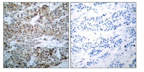 Immunohistochemistry (Paraffin-embedded sections) - Bad (phospho S75) antibody (ab28823)