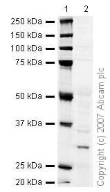 Western blot - NQO1 antibody [A180] (ab28947)