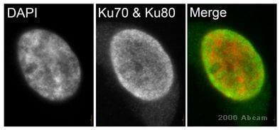 Immunocytochemistry/ Immunofluorescence - Anti-Ku70 [162] antibody (ab3108)